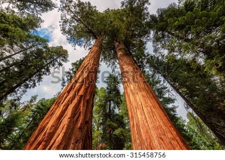 Giant Sequoias Fores in California Sierra Nevada Mountains, United States. - stock photo