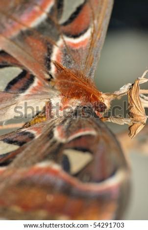 giant silkworm moth Attacus atlas close up - stock photo