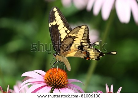Giant Swallowtail feeding on a cone flower in Missouri. - stock photo