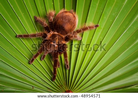Giant tarantula spider on green leaf - stock photo
