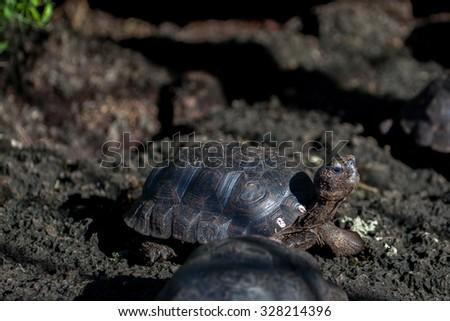 Giant tortoise baby at Isabela Island, Galapagos Islands, Ecuador  - stock photo