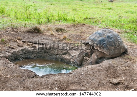 Giant Tortoise getting ready to drink from a water hole - stock photo