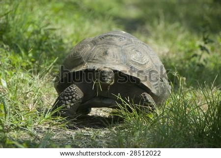 Giant Tortoise in Galapagos, Isla Santa Cruz - stock photo