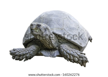 Giant Tortoise isolated on white backgroud with clipping path - stock photo