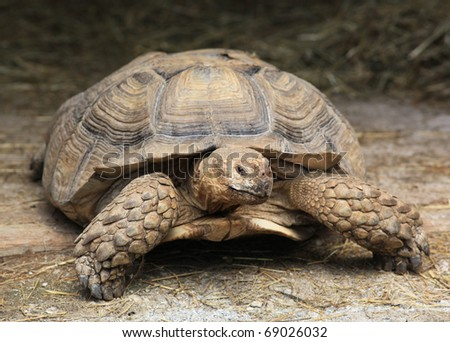 giant tortoise resting - stock photo