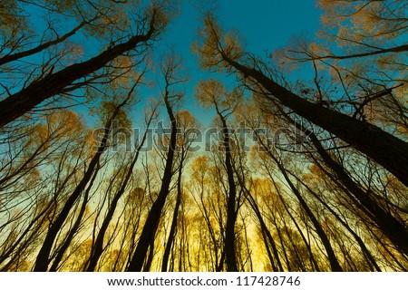 giant trees and sunrise - stock photo