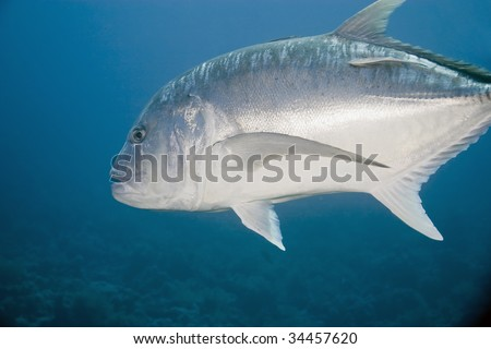 GIANT COBIA / TREVALLY CATCHING AT SEA - HANDLINE …