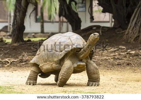 giant turtles (Dipsochelys gigantea) in tropical park in Mauritius