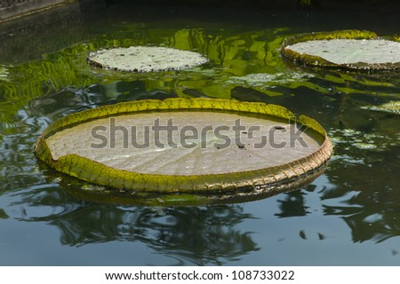 Giant  Waterlily Pads in the Orto botanico di Padova in Italy - stock photo