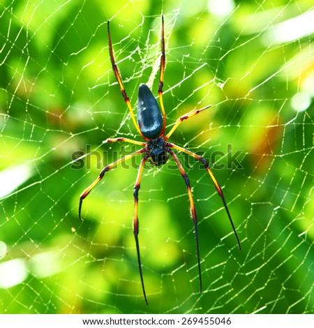 Giant wood spider - Nephila maculata / nephila pilipes, the Golden Orb Weaver or Banana Spider at Seychelles, Mahe. - stock photo