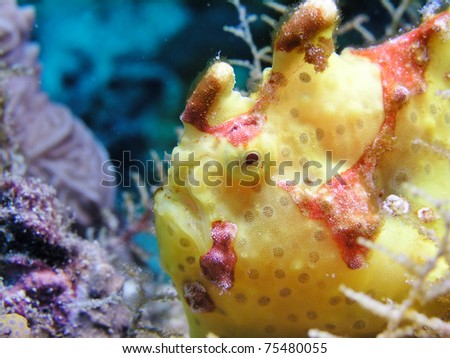 Giant yellow Frogfish Antennarius commersoni - stock photo