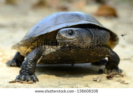 Gibba toad head turtle (Phrynops gibbus)
