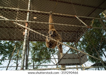 Gibbon in a cage - stock photo