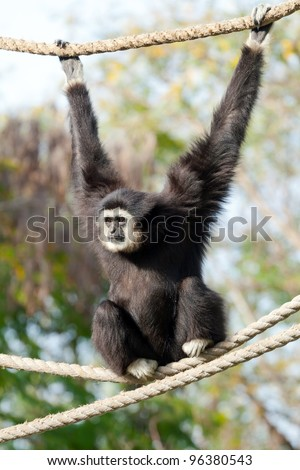Gibbon monkey on a rope weighs in zoo - stock photo