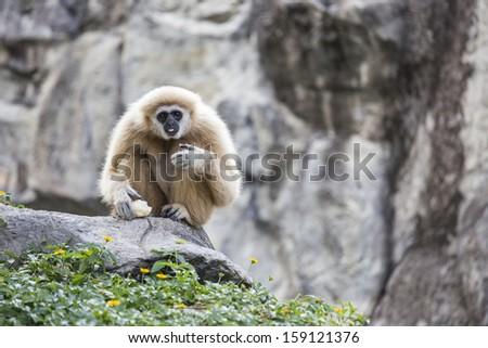 Gibbon white hand - stock photo