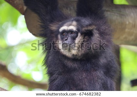 gibbon black singles Born a mutant with an ape-like build and agility, the gibbon later joined a circus where he excelled as an acrobat his powers were later enhanced by a potion given to him by kraven the hunter to &quotunleash the beast within&quot.
