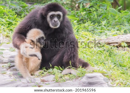 Gibbons and baby gibbons in zoo. - stock photo
