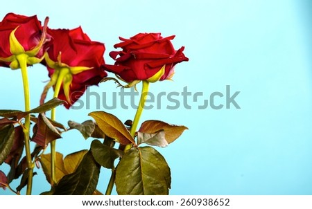 Gift for special occasion. Beautiful bouquet of blossoming red roses flowers as symbol of love on blue. - stock photo