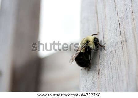 Gigantic bumble bee on a wooden deck