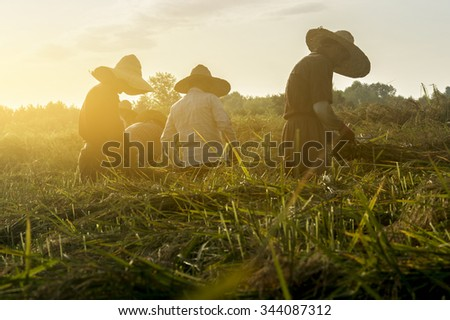 Gilan Province- North of IRAN-AUG 8, 2015  Group of Workers Cutting Rice In The Paddy Field At Morning. They Cut And Knot Rice Stalks for Drying. - stock photo