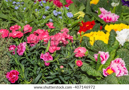 Gilly-flowers and other spring flowers in a nursery.