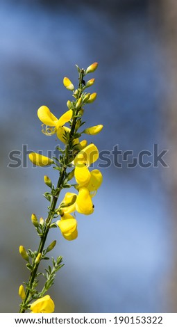 Ginestra Flowers a typical mediterranean plant. Scientific name:Cytisus scoparius - stock photo