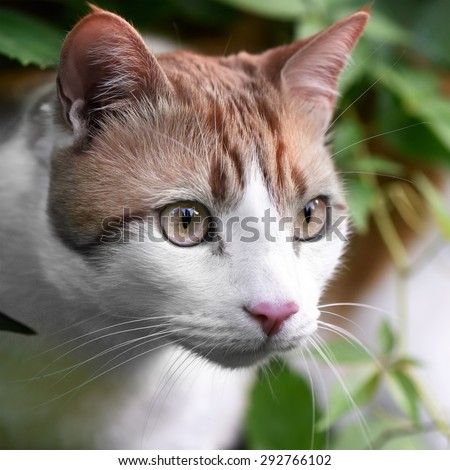 Ginger and white cat staring intently at a butterfly in the distance, out of shot. Concept image for concentration, determination and focus. - stock photo