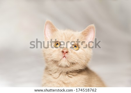 ginger British cat on a gray background