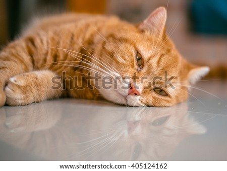 Ginger cat Boring and lay down on Floor. The fluffy pet comfortably settled to sleep or to play. Reflect on the floor,