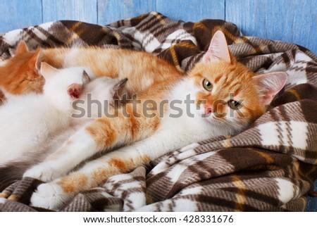 Ginger cat breastfeeding her little kittens. Motherhood, parenting, care.  - stock photo