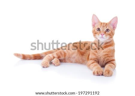 Ginger cat isolated on white background - stock photo