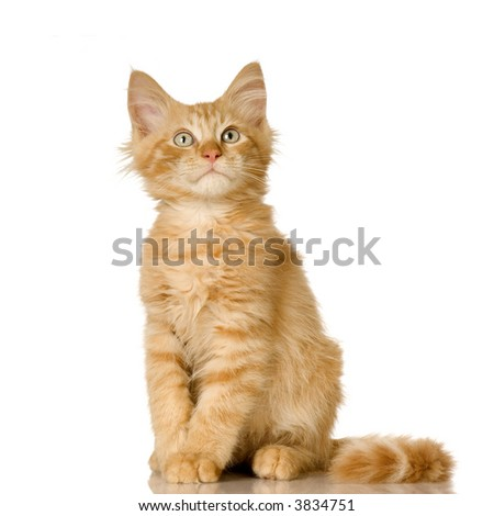 Ginger Cat kitten in front of a white background - stock photo