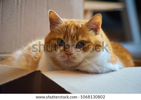 Ginger cat laying in a box looking into the camera