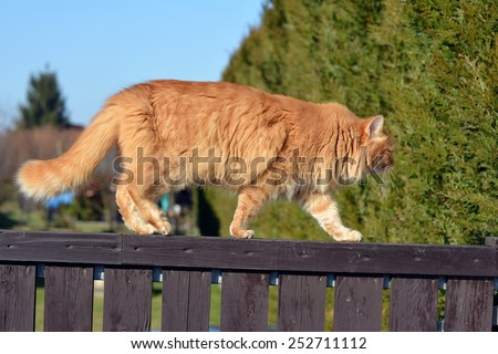 Ginger cat on the fence - stock photo