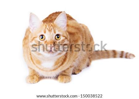 Ginger cat portrait studio isolated on white background shot - stock photo