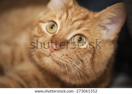ginger cat's face.close-up, selective focus - stock photo