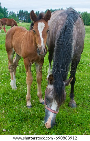 Ginger foal on pasture with his mother