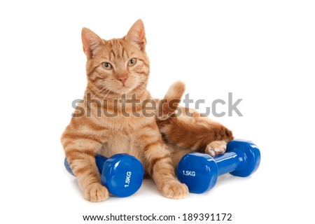 Ginger gym cat with two dumb bells, isolated on white - stock photo