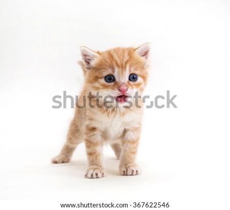 ginger kitten pet, breed, mammal, white background - stock photo