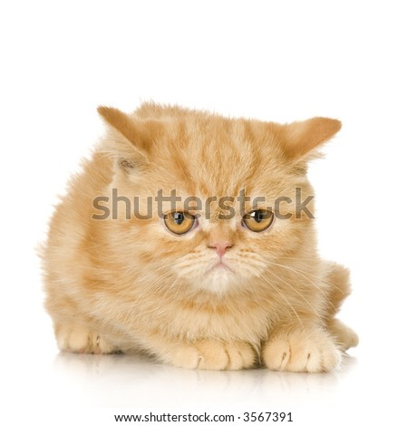 Ginger persian Cat kitten in front of a white background - stock photo