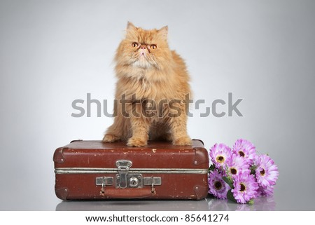 Ginger Persian cat on a suitcase on grey background
