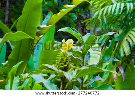 Ginger plant blooming in Hawaii - stock photo