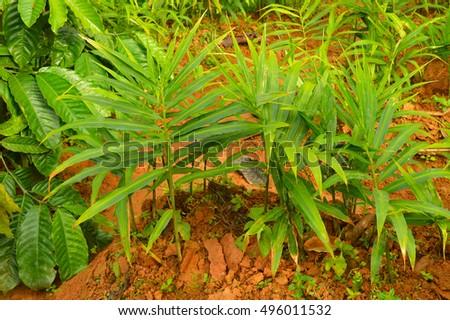 Ginger Plant Stock Images RoyaltyFree Images Vectors