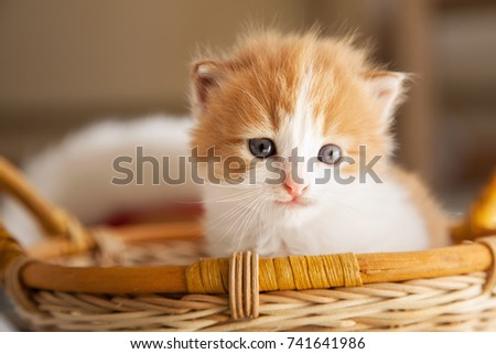 ginger small kitten in a basket.