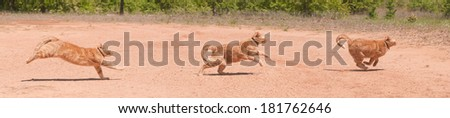 Ginger tabby cat running across red sand in full speed at different phases of stride, a panorama with three images - stock photo