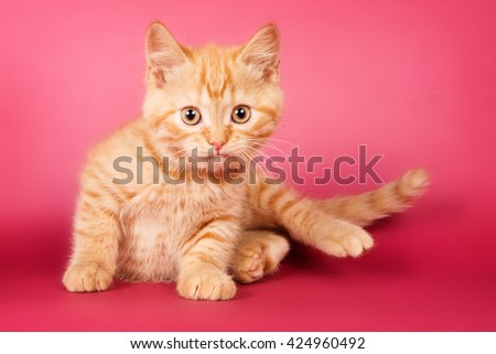 Ginger tabby kitten on a red background