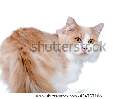 Ginger White Cat isolated over white background. - stock photo