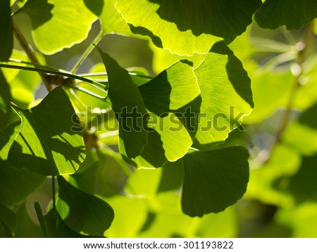 Gingko Biloba tree in the park - stock photo