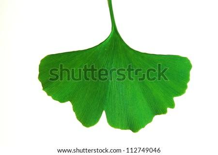 gingko leaf - stock photo