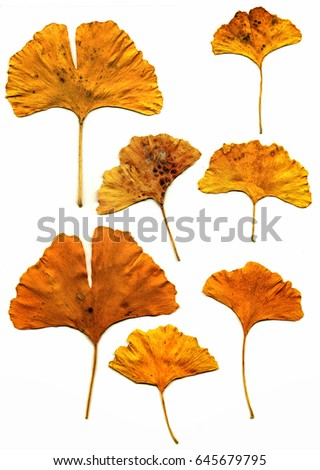 Gingko leaves; leaves of Gingko Biloba tree, isolated on white ground